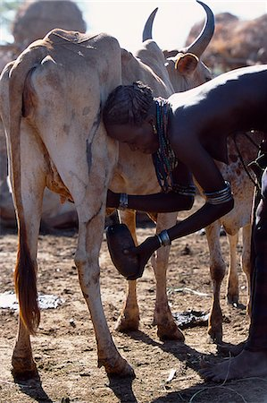 A Dassanech woman milks a cow by hand collecting the milk in a gourd at a settlement alongside the Omo River. Much the largest of the tribes in the Omo Valley numbering around 50,000,the Dassanech (also known as the Galeb,Changila or Merille) are Nilotic pastoralists and agriculturalists. Stock Photo - Rights-Managed, Code: 862-03354090