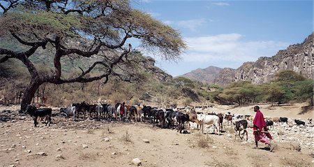Maasai pastoralists water their livestock at the seasonal Sanjan River,which rises in the Gol Mountains of northern Tanzania. Stock Photo - Rights-Managed, Code: 862-03355162