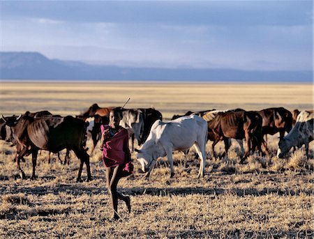 In the late afternoon,a Maasai boy drives his father's cattle home across the grassy plains west of the Lake Manyara National Park. Stock Photo - Rights-Managed, Code: 862-03355208