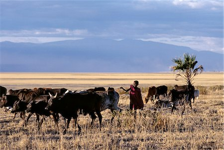 In the late afternoon,a Maasai boy drives his father's cattle home across the grassy plains west of the Lake Manyara National Park. Stock Photo - Rights-Managed, Code: 862-03355209