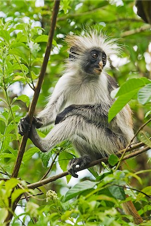 East Africa,Tanzania,Zanzibar. Red Colobus Monkey,Jozani Forest Reserve. One of Africa's rarest primates,the Zanzibar red colobus may number only about 1500. Isolated on this island for at least 1,000 years,the Zanzibar red colobus (Procolobus kirkii) is recognized as a distinct species,with different coat patterns,calls and food habits than the related colobus species on the mainland. Stock Photo - Rights-Managed, Code: 862-03355264