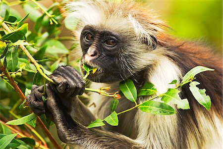 East Africa,Tanzania,Zanzibar. Red Colobus Monkey,Jozani Forest Reserve. One of Africa's rarest primates,the Zanzibar red colobus may number only about 1500. Isolated on this island for at least 1,000 years,the Zanzibar red colobus (Procolobus kirkii) is recognized as a distinct species,with different coat patterns,calls and food habits than the related colobus species on the mainland. Stock Photo - Rights-Managed, Code: 862-03355265