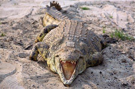 Tanzania,Katavi National Park. A large Nile crocodile basks in the sun on the banks of the Katuma River. Stock Photo - Rights-Managed, Code: 862-03355310