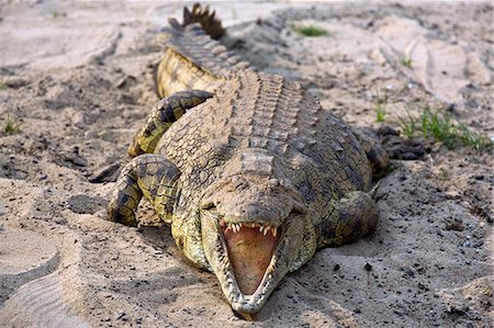 Tanzania,Katavi National Park. A large Nile crocodile basks in the sun on the banks of the Katuma River. Stock Photo - Rights-Managed, Code: 862-03355310