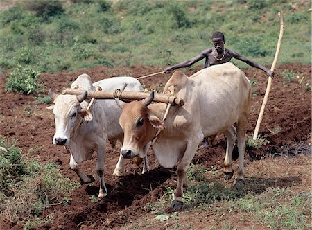 plow - A Konso man ploughs his land with two yoked oxen. In the absence of modern farming methods,a wooden stave serves as his plough. Traditional agricultural methods are widely used in Ethiopia.. Stock Photo - Rights-Managed, Code: 862-03353960