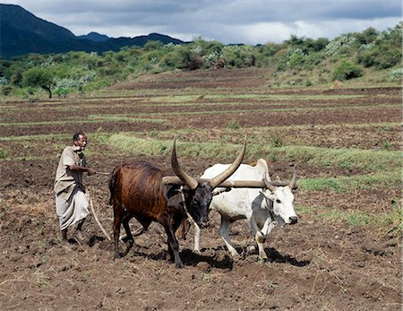plow - A Tigray man ploughs his land with two yoked oxen. In the absence of modern farming methods,a metal-tipped wooden plough serves his needs. Traditional agricultural methods are widely used in Ethiopia.. Stock Photo - Rights-Managed, Code: 862-03353961