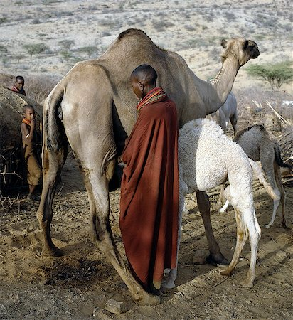 A Samburu woman milks a camel at her homestead in the early morning. The proximity of the calf helps to stimulate the flow of milk. Baby camels have a wool-like texture to their coats,which they lose after six month. Stock Photo - Rights-Managed, Code: 862-03366026