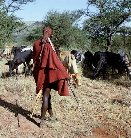 A Maasai warrior resplendent with his long ochred braids tied in a pigtail watches over his family's cattle,spear in hand. The singular hairstyle of warriors sets them apart from other members of their society. Stock Photo - Rights-Managed, Code: 862-03366159