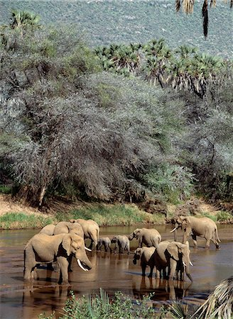 Elephants watering in the Uaso Nyiru River. Stock Photo - Rights-Managed, Code: 862-03366333