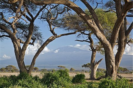 Kenya,Amboseli,Amboseli National Park. Mount Kilimanjaro framed by large acacia trees (Acacia tortilis) in the Amboseli National Park. Stock Photo - Rights-Managed, Code: 862-03366749