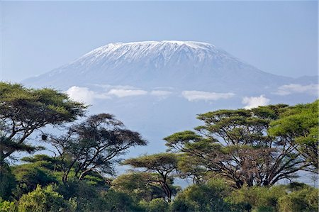 Kenya,Amboseli,Amboseli National Park. Majestic Mount Kilimanjaro towering above large acacia trees (Acacia tortilis) in Amboseli National Park. Stock Photo - Rights-Managed, Code: 862-03366750