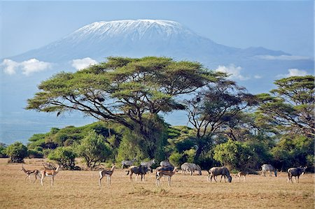 Kenya,Amboseli,Amboseli National Park. Animals graze the parched grass plains with majestic Mount Kilimanjaro towering above large acacia trees (Acacia tortilis) in Amboseli National Park. Stock Photo - Rights-Managed, Code: 862-03366752