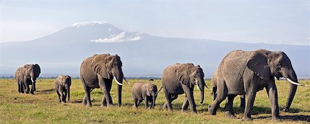 Kenya,Amboseli,Amboseli National Park. A line of elephants (Loxodonta africana) move to Amboseli swamp with majestic Mount Kilimanjaro towering in the background. Stock Photo - Rights-Managed, Code: 862-03366753