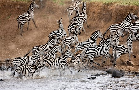 Kenya,Masai Mara,Masai Mara Game Reserve. A herd of common zebras (Equus quagga) panic at the Mara River. Stock Photo - Rights-Managed, Code: 862-03366824
