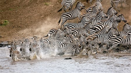 Kenya,Masai Mara,Masai Mara Game Reserve. A herd of common zebras (Equus quagga) panic at the Mara River. Stock Photo - Rights-Managed, Code: 862-03366823