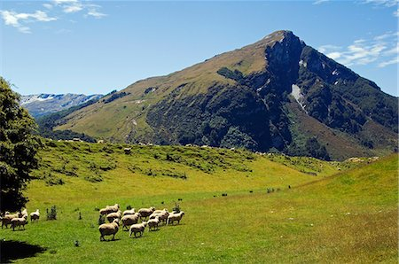 New Zealand,South Island. Flock of sheep and mountain scenery in Mt Aspiring National Park. Stock Photo - Rights-Managed, Code: 862-03360102