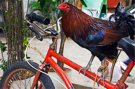 quirky - Philippines,Luzon,Manila. Rooster standing on bicycle frame. Stock Photo - Rights-Managed, Code: 862-03360761
