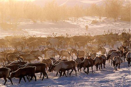 reindeer in snow - Russia,Kamchakta. Herding reindeer across the winter tundra,Palana,Kamchatka,Russian Far East Stock Photo - Rights-Managed, Code: 862-03361073