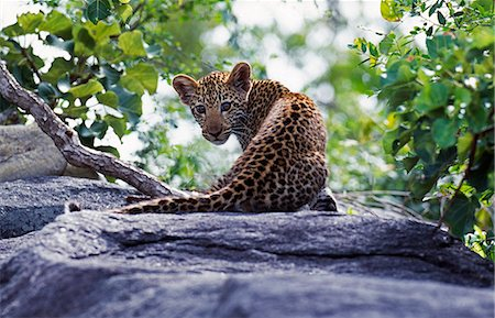 South Africa,Sabi Sands Game Reserve. A Leopard cub (Panthera pardus). Stock Photo - Rights-Managed, Code: 862-03361111