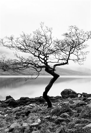 silhouette black and white - Solitary tree on the shore of Loch Etive, Highlands, Scotland, UK Stock Photo - Rights-Managed, Code: 862-03713411