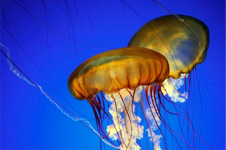 United States of America, California, Monterey, two jellyfish swim in an aquarium tank in Monterey Bay Aquarium. Stock Photo - Rights-Managed, Code: 862-03737423