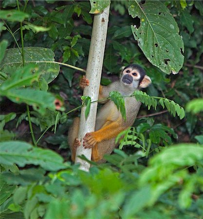 Peru. A Squirrel monkey in the lush, tropical forest of the Amazon Basin. Stock Photo - Rights-Managed, Code: 862-03732028