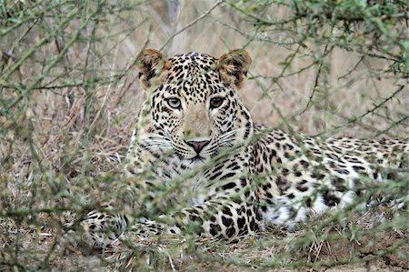 predator - India, Madhya Pradesh, Satpura National Park. A young male leopard resting at dusk. Stock Photo - Rights-Managed, Code: 862-03807489