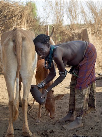 A Dassanech woman milks her familys cattle in the early morning.The Dassanech speak a language of Eastern Cushitic origin.They live in the Omo Delta and they practice animal husbandry and fishing as well as agriculture. Stock Photo - Rights-Managed, Code: 862-03820483