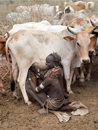 A Nyangatom woman milks her familys cows early in the morning. It is the sole responsibility of women and children to milk cows, Nyangatom men will never do so.The Nyangatom are one of the largest tribes and arguably the most warlike people living along the Omo River in Southwest Ethiopia. Stock Photo - Rights-Managed, Code: 862-03820534