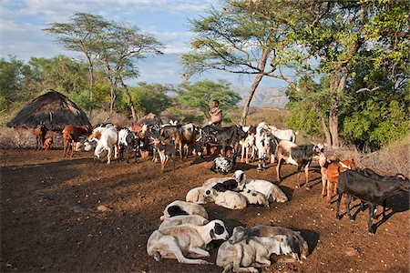 In the early morning, a Pokot woman milks her familys goats in the stock pen of her husbands settlement. The Pokot are pastoralists speaking a Southern Nilotic language. Stock Photo - Rights-Managed, Code: 862-03888704