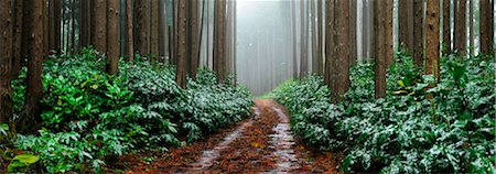 Falca Forest Reserve in a foggy day. Faial, Azores islands, Portugal Stock Photo - Rights-Managed, Code: 862-03889160