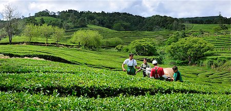 Workers picking the tea leaves at Gorreana tea plantations. Sao Miguel, Azores islands, Portugal Stock Photo - Rights-Managed, Code: 862-03889212