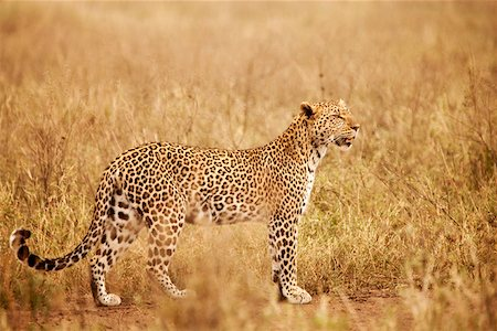 serengeti national park - Tanzania, Serengeti. A leopard boldly stands in the long grasses near Seronera. Stock Photo - Rights-Managed, Code: 862-03890053