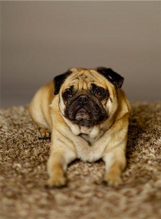 pvg - Pug dog portait Stock Photo - Rights-Managed, Code: 877-08128708