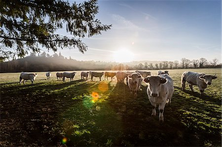 France, Auvergne, Charolais cattle herd in field Stock Photo - Rights-Managed, Code: 877-08129247