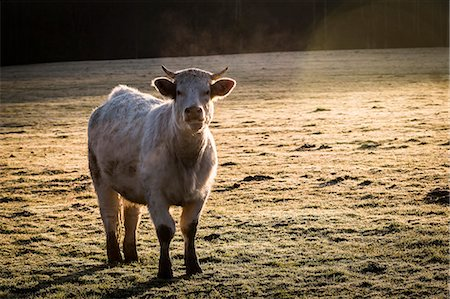 France, Auvergne, Charolais cattle in field Stock Photo - Rights-Managed, Code: 877-08129255