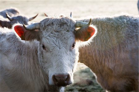 France, Auvergne, Charolais cattle herd in field Stock Photo - Rights-Managed, Code: 877-08129258