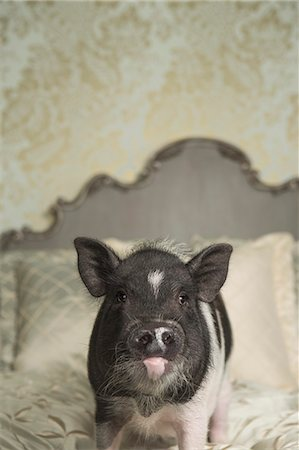 A pot bellied pig on a large bed with carved headboard and pillows, in a large mansion, an elegant home. A domestic pet. Stock Photo - Rights-Managed, Code: 878-07442435