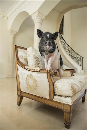 A miniature pot bellied pig sitting on his haunches on an antique chair with thick cushions, in a large elegantly furnished mansion in Texas. Stock Photo - Rights-Managed, Code: 878-07442431