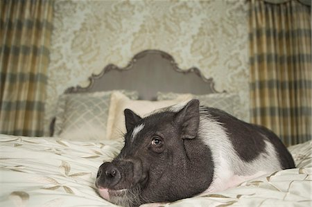 A pot bellied pig on a large bed with carved headboard and pillows, in a large mansion, an elegant home. A domestic pet. Stock Photo - Rights-Managed, Code: 878-07442440