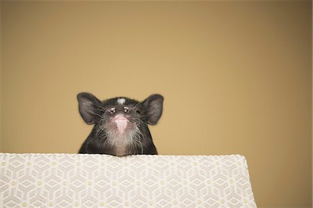A small pig peering over the edge of a bed, in a domestic house Stock Photo - Rights-Managed, Code: 878-07442471
