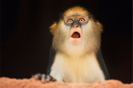 Mona monkey inside house, Cercopithecus mona, Boabeng-Fiema Monkey Sanctuary, Ghana Stock Photo - Rights-Managed, Code: 878-07442556