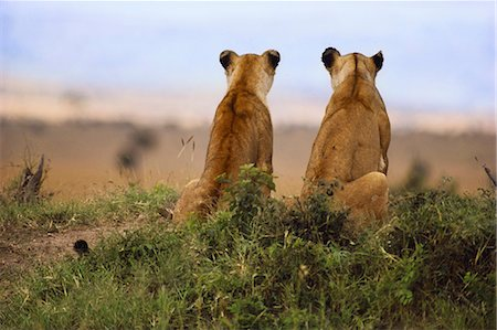 Lionesses watching for prey, Panthera leo, Masai Mara Reserve, Kenya Stock Photo - Rights-Managed, Code: 878-07442597