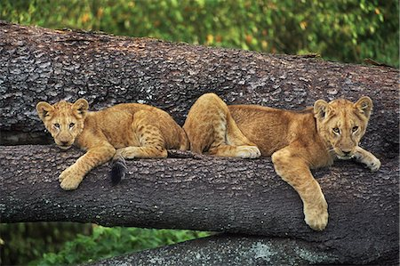 Lion cubs on tree, Panthera leo, Masai Mara Reserve, Kenya Stock Photo - Rights-Managed, Code: 878-07442598