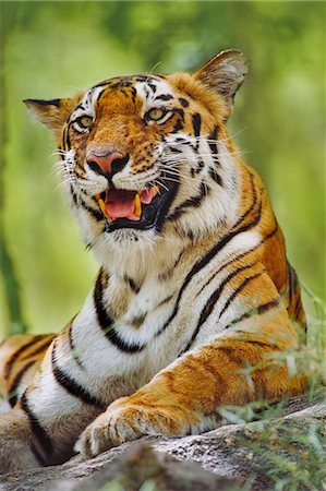pictures cats - Bengal tiger resting, Panthera tigris tigris, Western Ghats, India Stock Photo - Rights-Managed, Code: 878-07442614