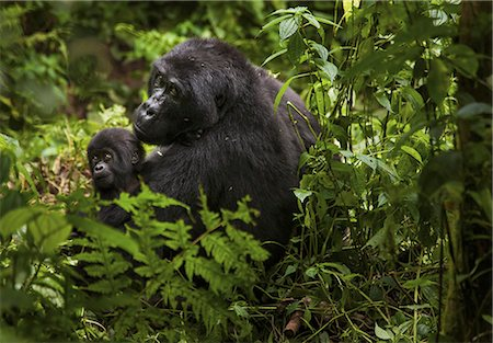Mountain gorilla and juvenile, Volcanoes National Park, Rwanda Stock Photo - Rights-Managed, Code: 878-07442664