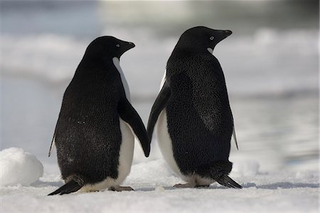 Adelie penguins standing side by side toucing flippers on Paulet Island, Antarctica Stock Photo - Rights-Managed, Code: 878-07442685