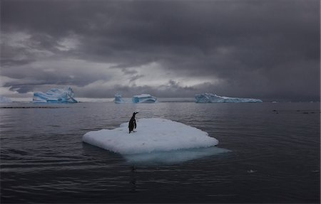 extreme terrain - Gentoo penguin on an iceberg, Antarctica Stock Photo - Rights-Managed, Code: 878-07442692