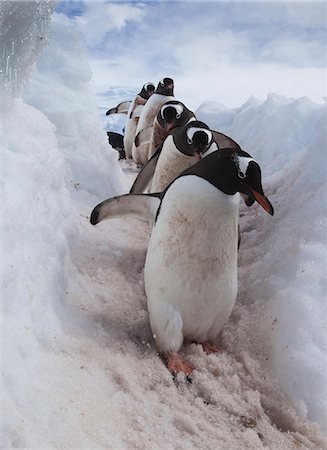 extreme terrain - Gentoo penguins using a well worn pathway through the snow, to reach the sea. Antarctica Stock Photo - Rights-Managed, Code: 878-07442748