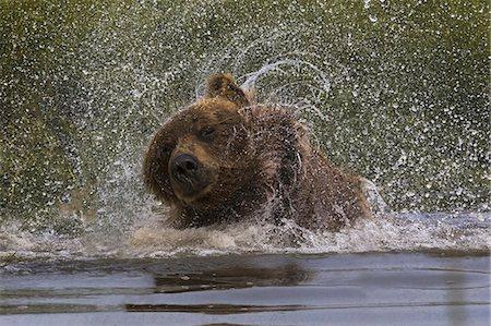 Brown bear, Lake Clark National Park, Alaska, USA Stock Photo - Rights-Managed, Code: 878-07442766